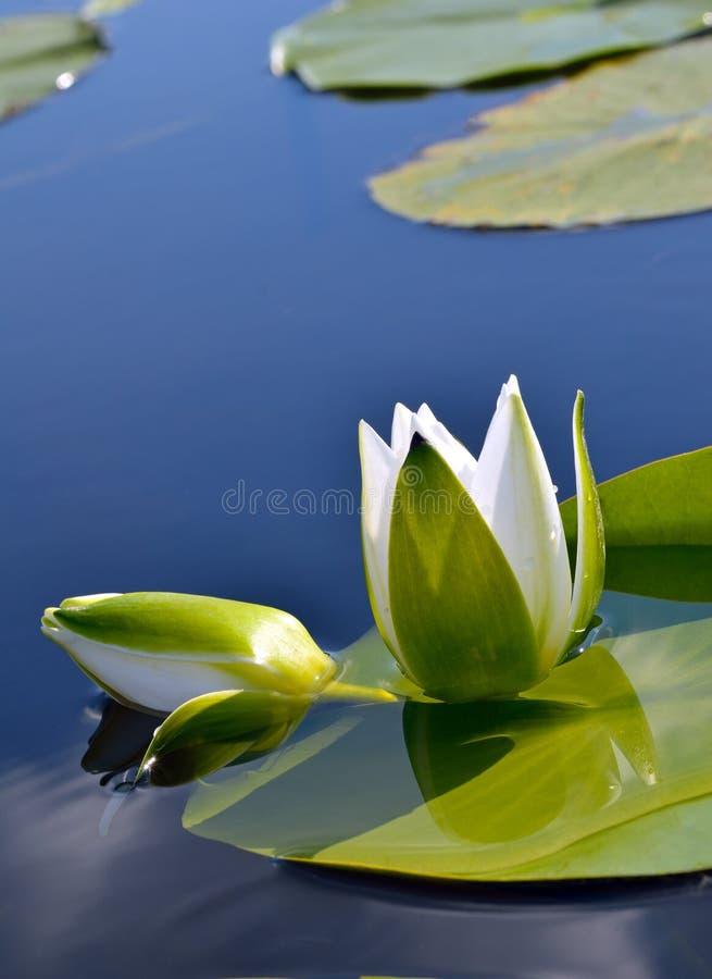 Witte lelie tegen het blauwe water en de groene bladeren stock afbeelding