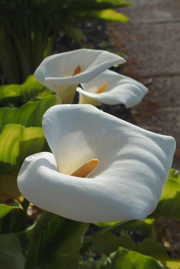 Witte leliebloem stock foto's