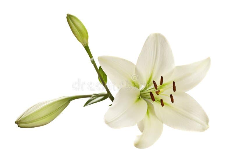 Witte leliebloem stock fotografie