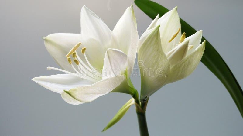 Witte leliebloem in bloei stock foto