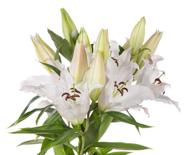 Witte Leliebloemen Stock Foto's
