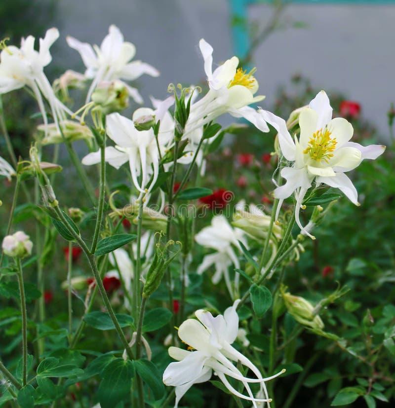 Witte leliebloemen Witte kleur op een groene achtergrond Bloemen voor prentbriefkaaren stock foto's