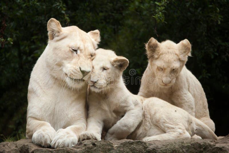 Witte leokrugeri van leeuwpanthera royalty-vrije stock foto's
