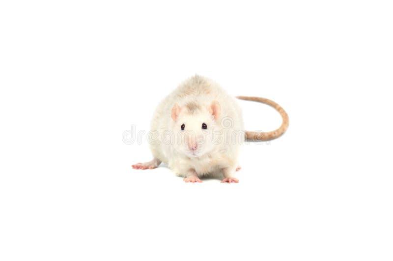 Witte leuke die rat op een witte achtergrond wordt geïsoleerd royalty-vrije stock afbeeldingen