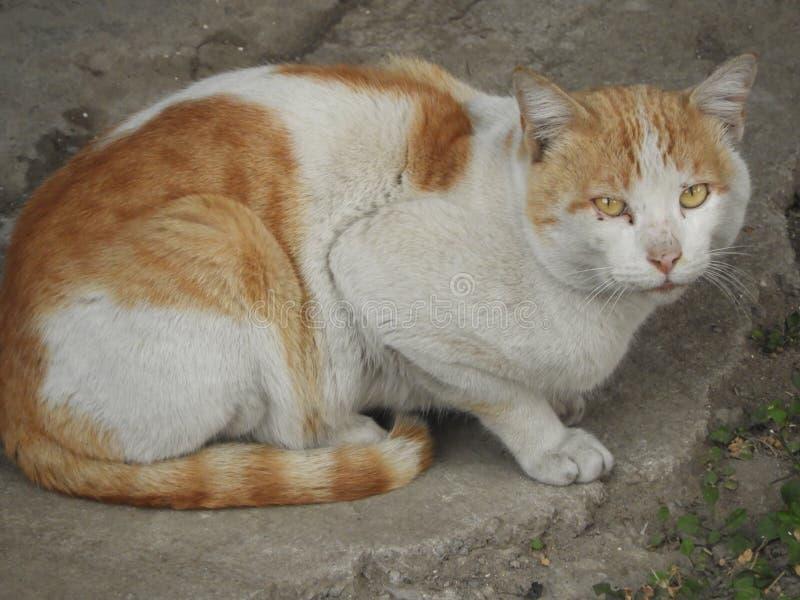 Witte Lichtbruine kat in verdenkingspositie stock foto's