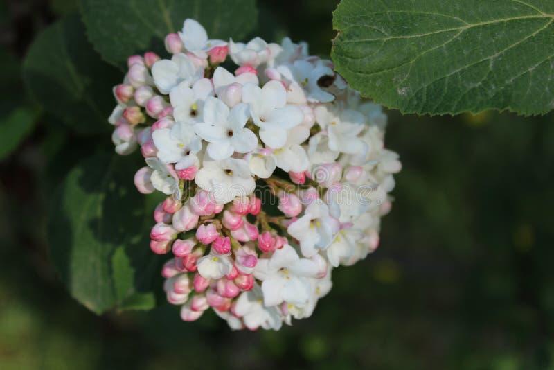 Witte lilac bloem in bloei stock fotografie