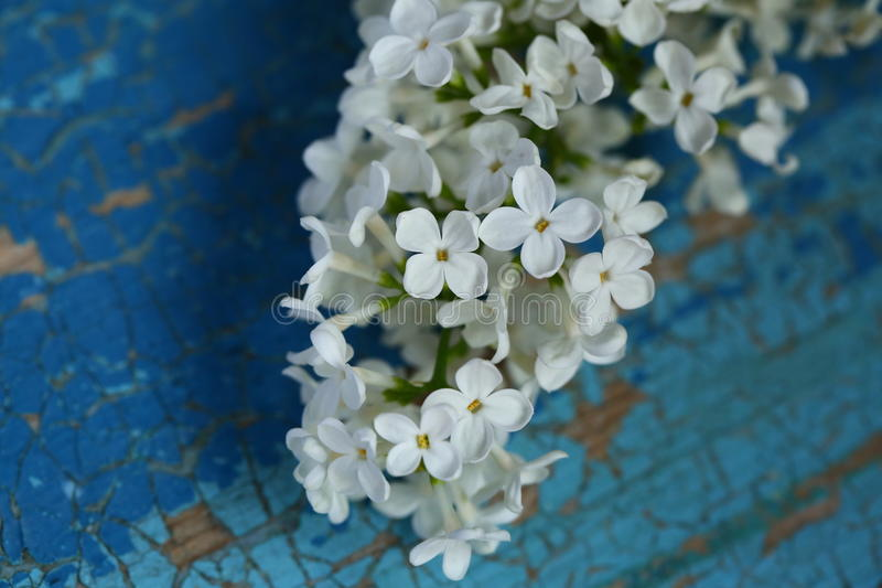 Witte Lilac Bloemen stock foto's