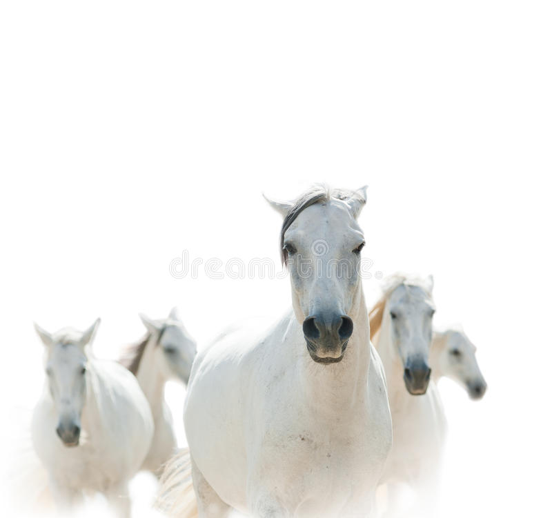 Witte lipizzian paarden royalty-vrije stock fotografie