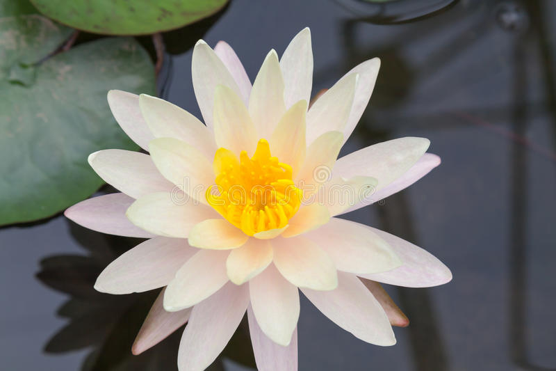 Witte lotos royalty-vrije stock fotografie