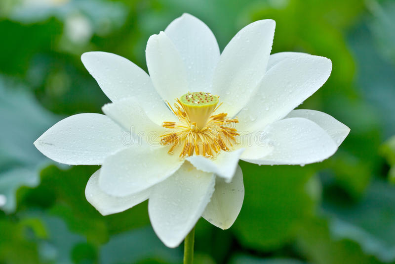 Witte Lotus en dauwdruppel royalty-vrije stock fotografie