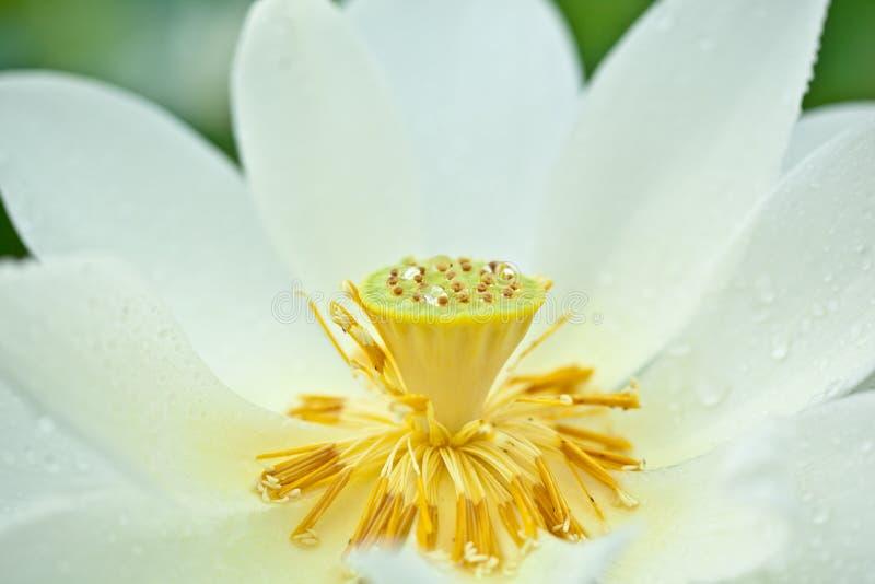 Witte Lotus en dauwdruppel royalty-vrije stock foto's