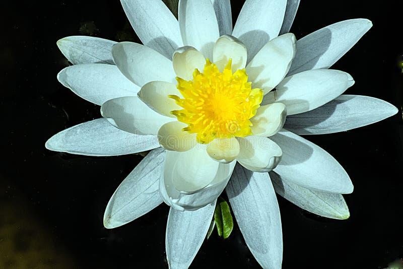 Witte Lotus Yellow Anthers stock afbeeldingen