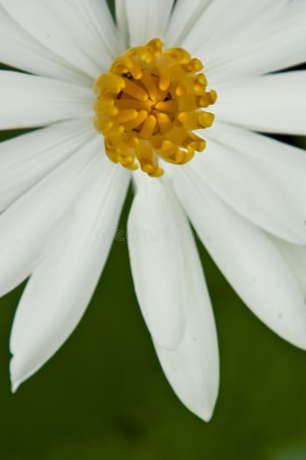 Witte lotusbloem stock fotografie