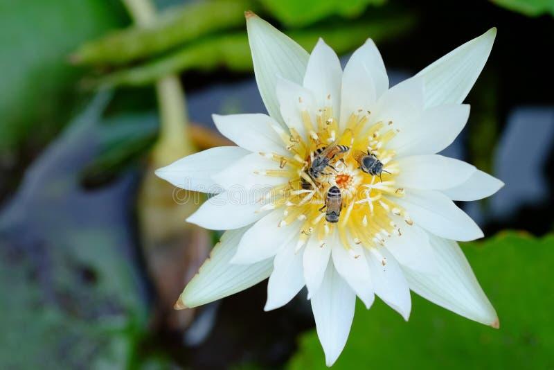 Witte lotusbloem en bij royalty-vrije stock foto