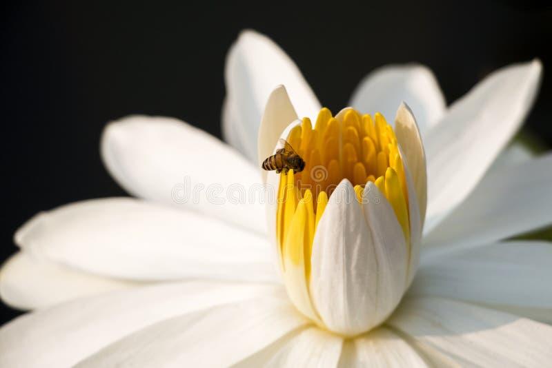 Witte lotusbloem met bij stock afbeeldingen