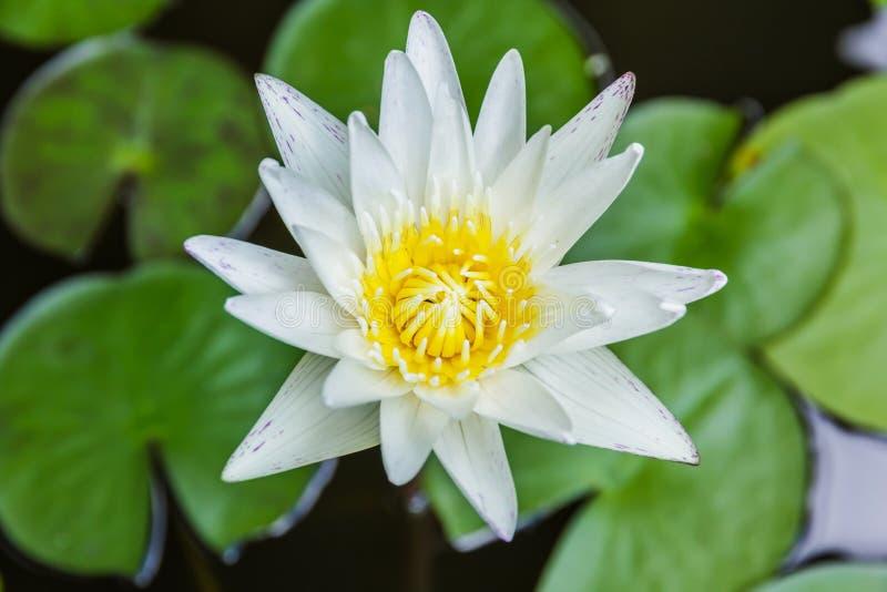 Witte lotusbloem of stroomversnellinglelie in vijver royalty-vrije stock foto