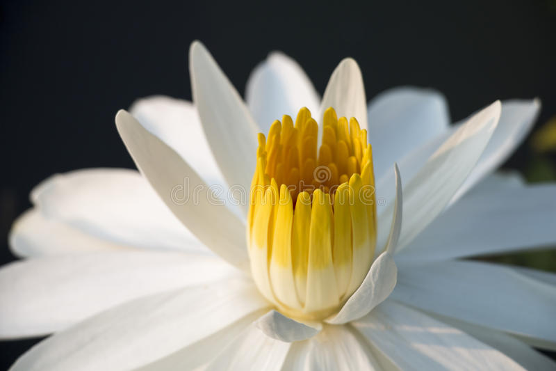 Witte lotusbloem in zonneschijn royalty-vrije stock foto's