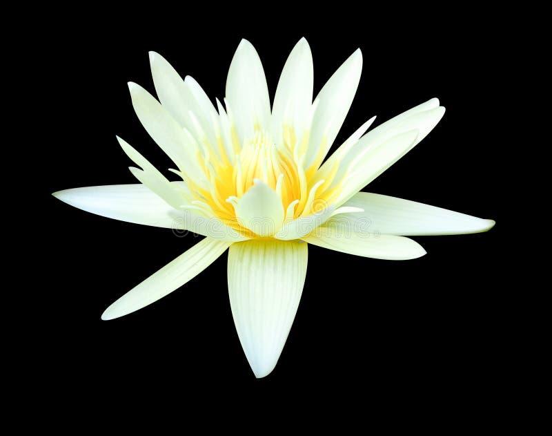 Witte lotusbloembloem op zwarte achtergrond stock afbeelding