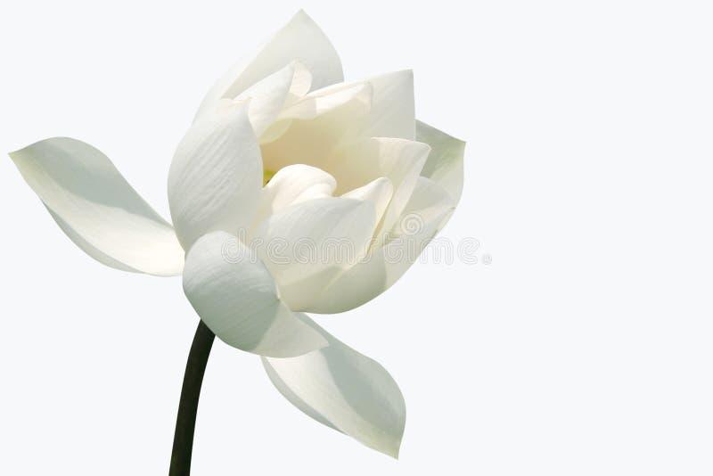 Witte lotusbloembloesem stock foto's