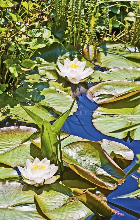 Witte lotusbloemwaterlelie in meer royalty-vrije stock afbeelding