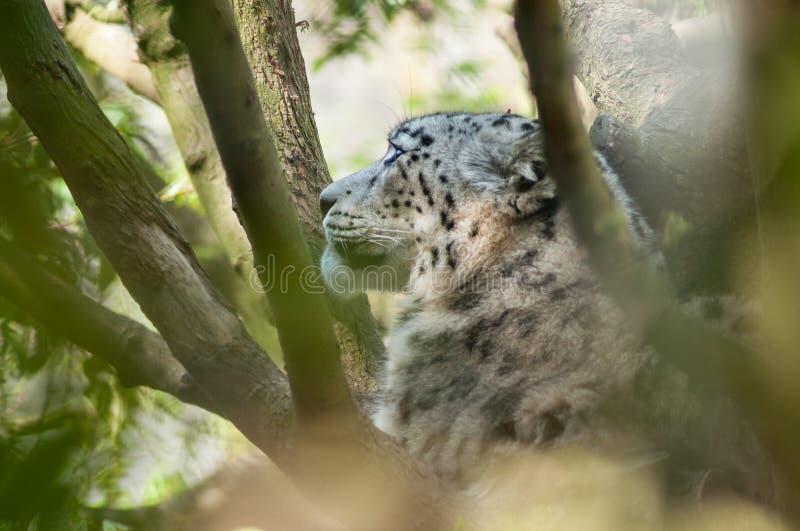 witte luipaard in een boom royalty-vrije stock fotografie