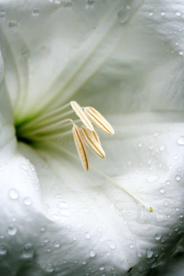 Witte madonnalelie royalty-vrije stock foto's