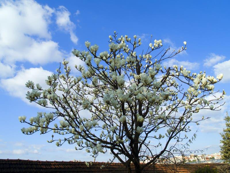 Witte magnolia royalty-vrije stock fotografie