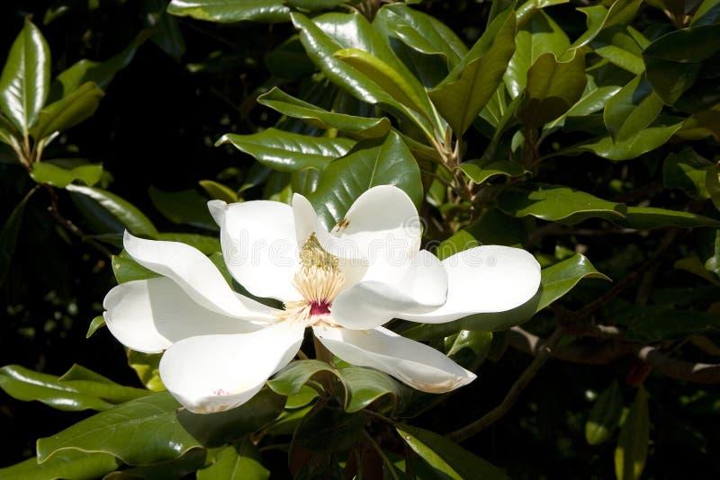 Witte Magnolia stock fotografie