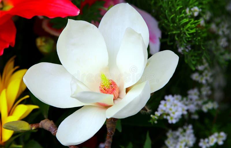 Witte magnoliabloem stock foto's