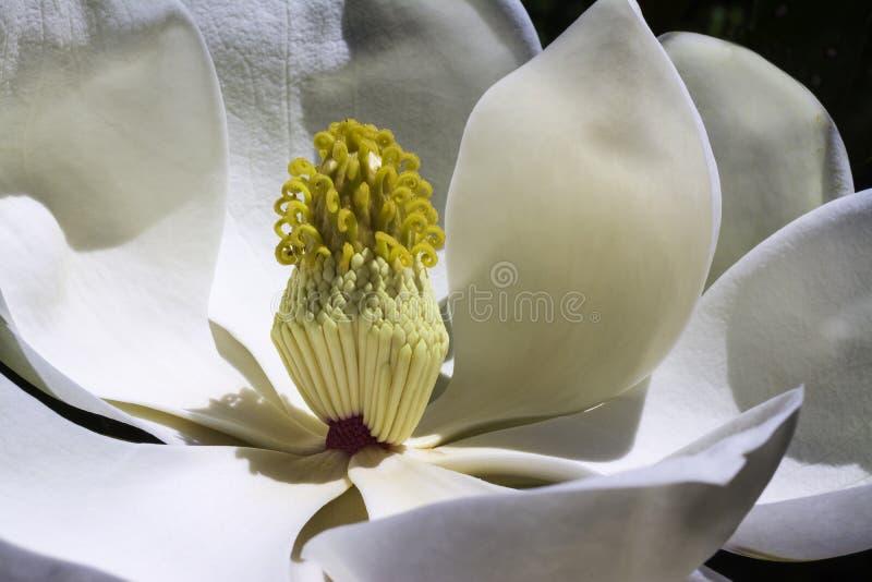 Witte magnoliabloem in bloei stock foto's