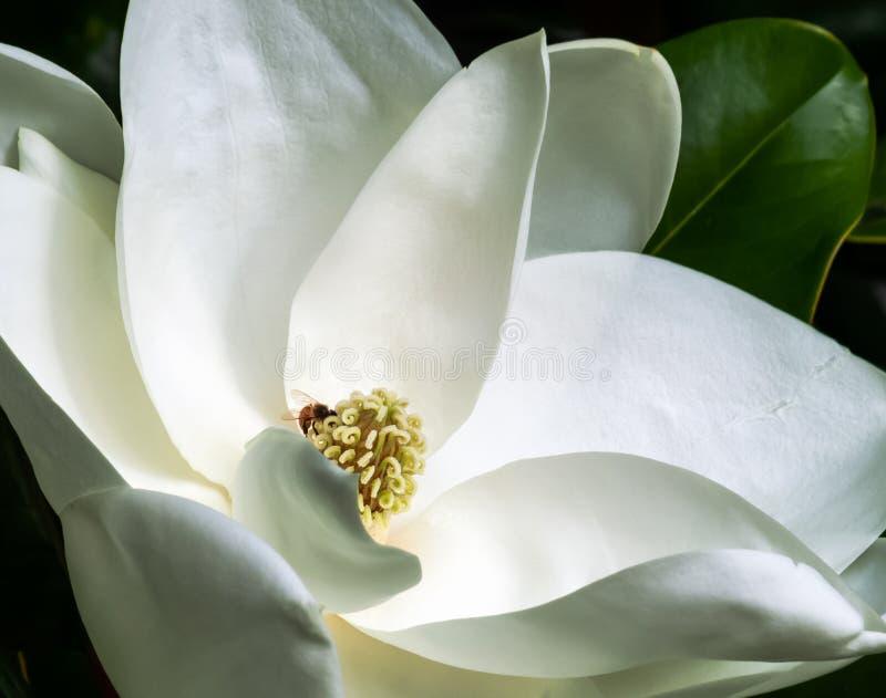 Witte magnoliabloem en bij in een boomclose-up royalty-vrije stock foto's