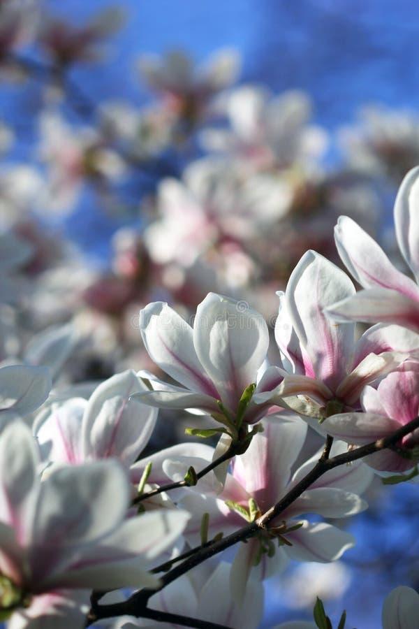 Download Witte Magnoliabloemen In De Lente Stock Foto - Afbeelding bestaande uit magnolia, zonneschijn: 39113800