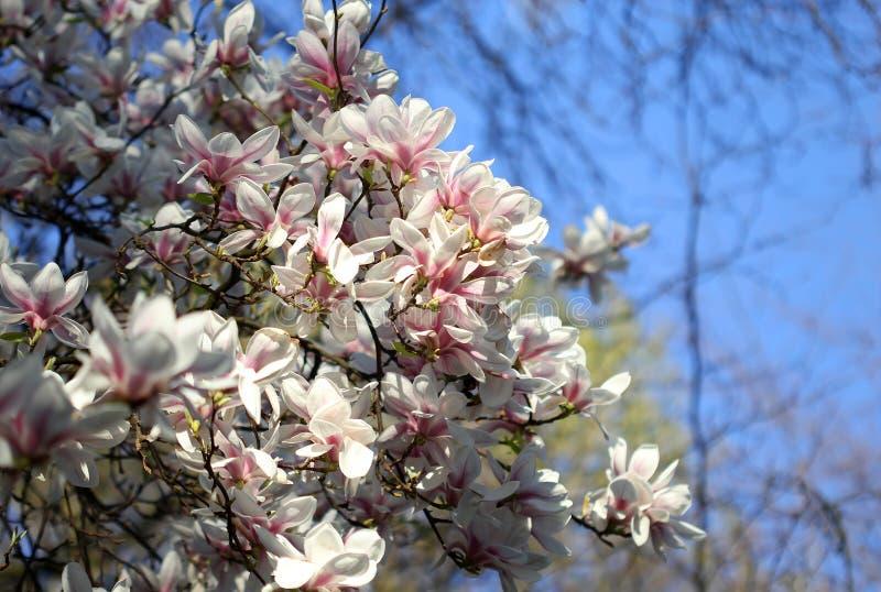 Download Witte Magnoliabloemen In De Lente Stock Afbeelding - Afbeelding bestaande uit magnolia, zonneschijn: 39113819