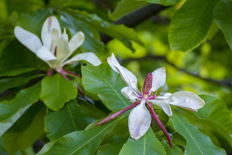 Witte magnoliabloesem stock foto's