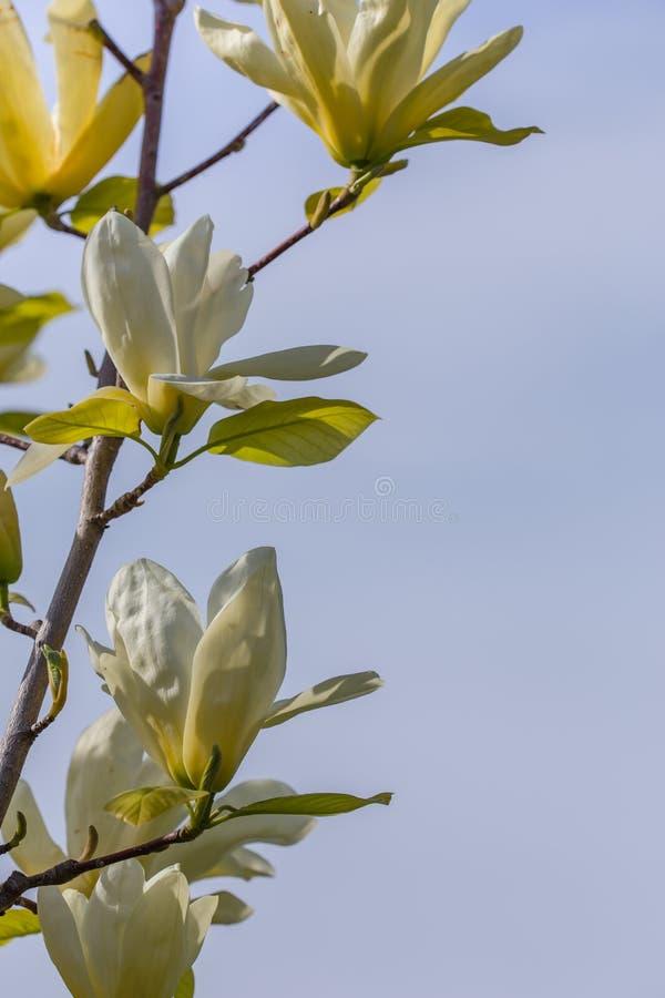 Witte magnoliabloesem royalty-vrije stock foto's
