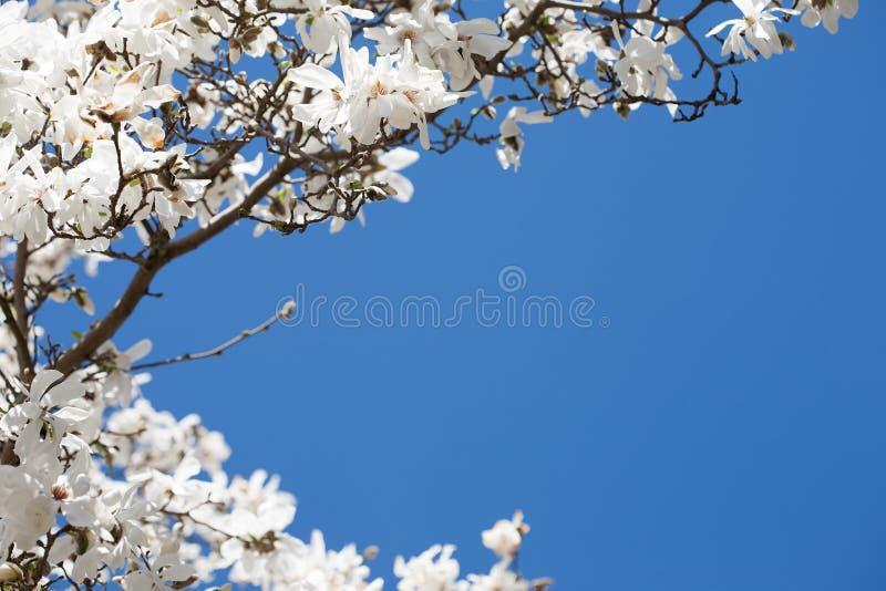 Witte magnoliabloesem voor een duidelijke blauwe hemel bij de lente stock foto