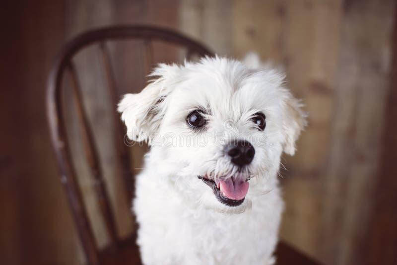 Witte Maltese die hond op een houten achtergrond, leuk vriendschappelijk huisdier wordt gesteld stock afbeelding
