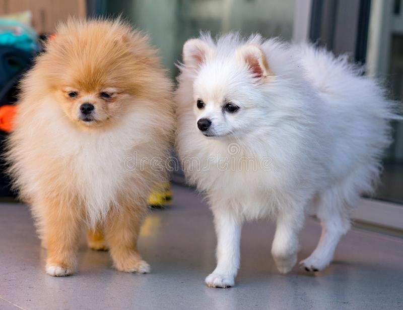 witte mannelijke en bruine vrouwelijke Pumeranian-honden royalty-vrije stock afbeeldingen