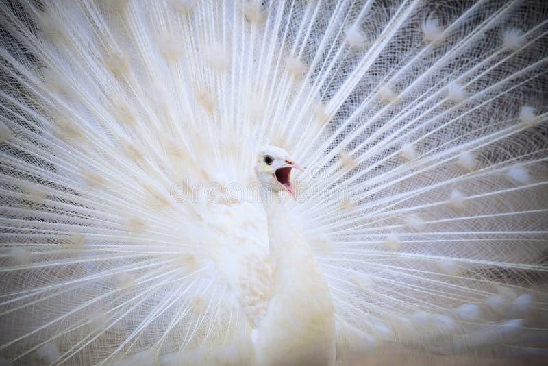 Witte mannelijke Indische pauw met het mooie gevederte van de ventilatorstaart feathe royalty-vrije stock afbeeldingen