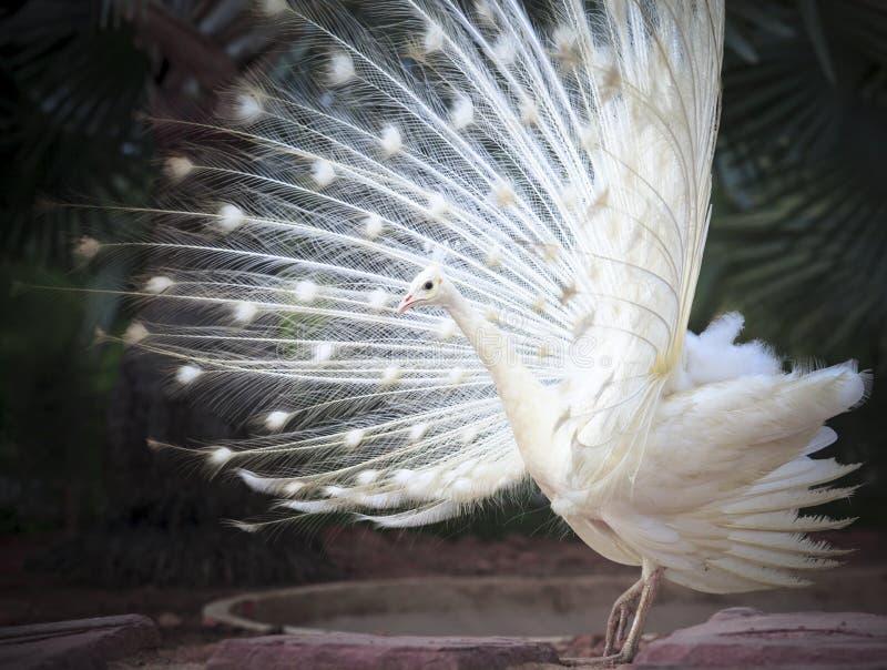Witte mannelijke Indische pauw met het mooie gevederte van de ventilatorstaart feathe stock foto