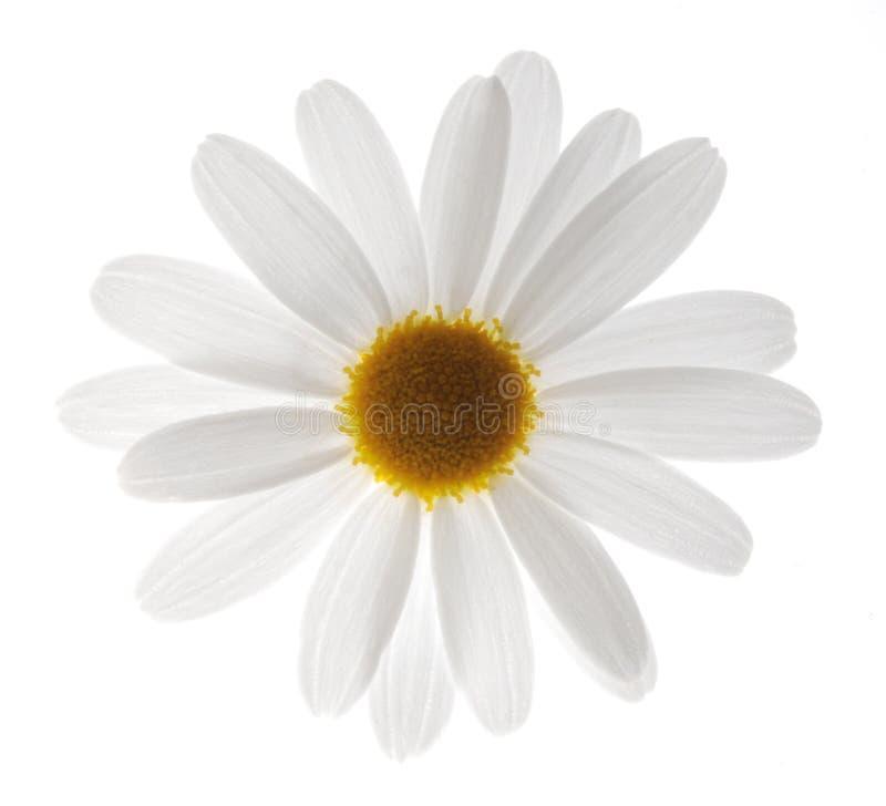 Witte margriet royalty-vrije stock afbeelding