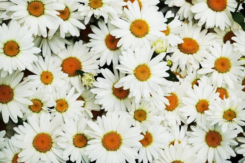 witte margriettextuur royalty-vrije stock foto's