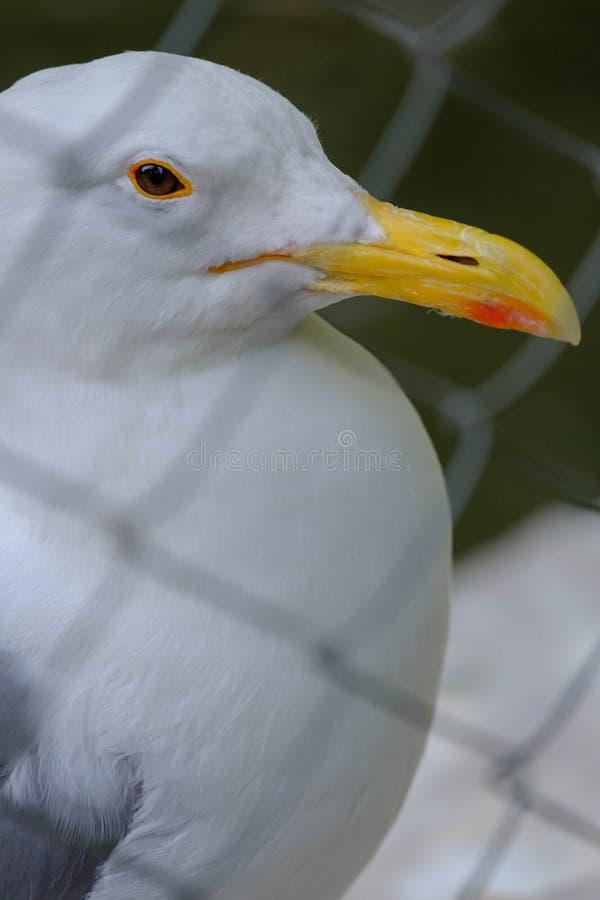 Witte meeuw in het park stock afbeeldingen