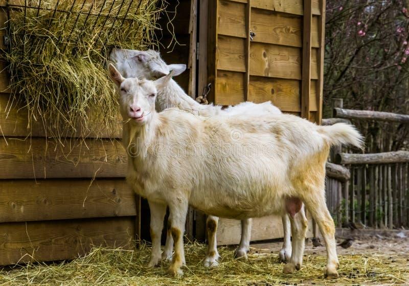 Witte melkgeit een populair Nederlands hybride ras, geit die hooi, Landbouwbedrijf het dierlijke voeden eten royalty-vrije stock afbeeldingen