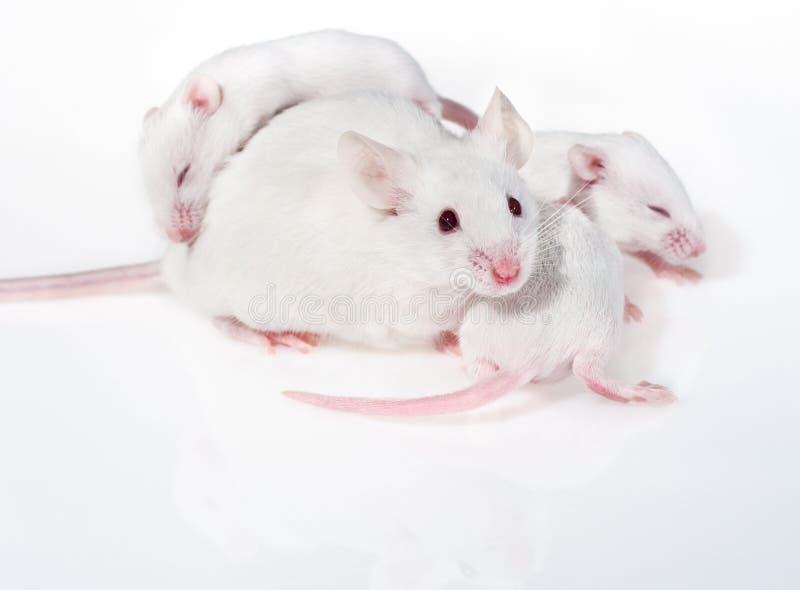 Witte moedermuis met drie jongen stock foto's