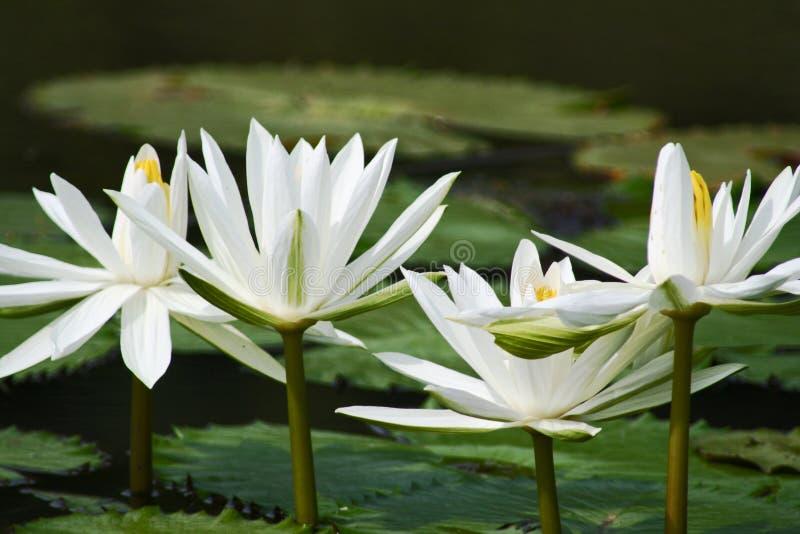 Witte mooie lotusbloem stock fotografie