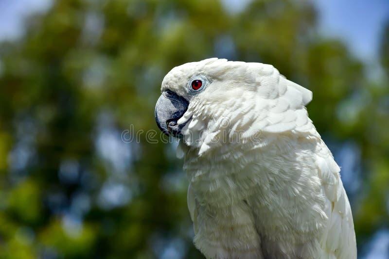 Witte mooie papegaaidierentuin, zwavel, boom, papegaai, inwoner royalty-vrije stock foto's