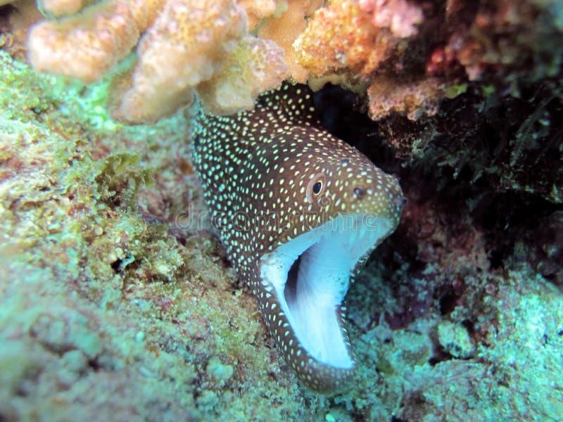 Witte moray mond royalty-vrije stock fotografie