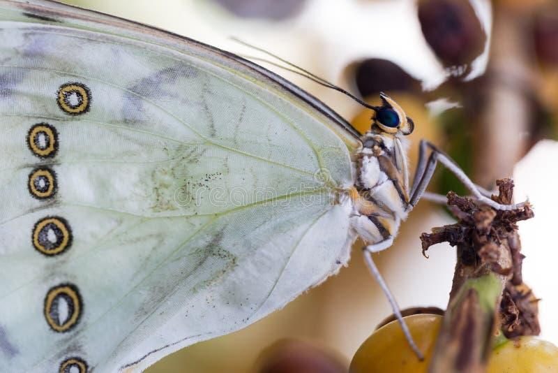 Witte Morpho-polyphemus stnds op boomtak royalty-vrije stock foto