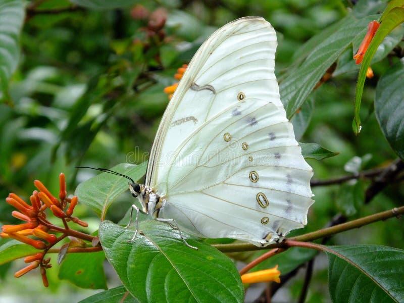 Witte Morpho-polyphemus van Vlindermorpho stock fotografie